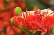 火红的凤凰花图片(16张)