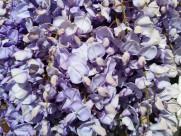 清新的紫藤花图片(14张)