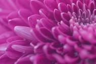 漂亮的紫色菊花微距图片(10张)