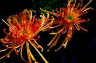 各种颜色的菊花图片(11张)