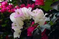 粉色三角梅图片(5张)