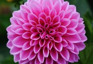 粉红的大丽花图片(15张)