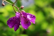紫花野牡丹图片(11张)