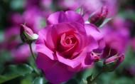 各种颜色的玫瑰花图片(21张)