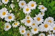 白色雏菊高清图片(15张)