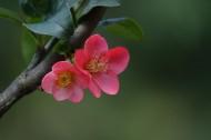 玫红色的海棠花图片(10张)