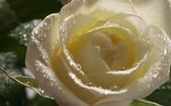 淡雅的白玫瑰图片(20张)