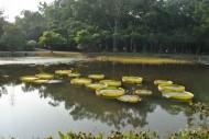 王莲水生植物图片(1张)