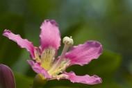 盛开的紫荆花图片(5张)