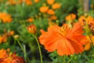 橙黄色波斯菊图片(10张)
