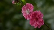 桃花图片(9张)