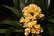 罕见黄色君子兰图片(14张)