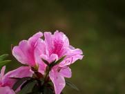 雨后的粉花杜鹃图片(10张)