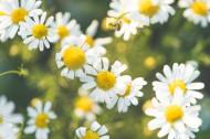 清新美好的雏菊图片(10张)