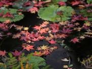 美丽枫叶图片(17张)