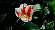 杂色郁金香图片(7张)