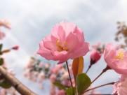 粉色的桃花图片(11张)