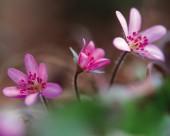 粉嫩粉嫩的野花图片(15张)