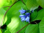 蓝色风信子图片(12张)