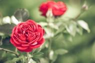 好看的红玫瑰花图片(11张)