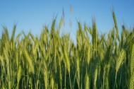 绿色的麦田图片(13张)