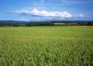 水稻图片(11张)