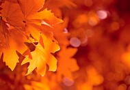 唯美的枫叶图片(15张)