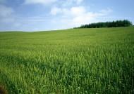 小麦麦田图片(26张)