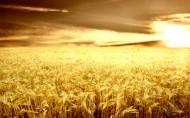 麦田麦穗图片(40张)