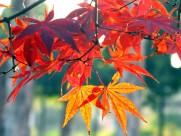 红红的枫叶图片(15张)