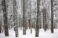 冬季白雪覆盖的树林图片(13张)
