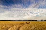 金黄的麦田风光图片(9张)