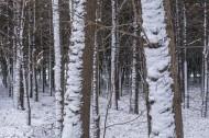 树林里的雪景图片(9张)