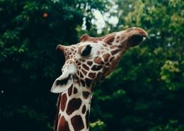 高大的野生长颈鹿图片(11张)
