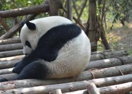 动物园里的国宝大熊猫图片(11张)