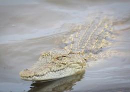 凶猛的鳄鱼图片(10张)