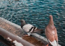 温顺的鸽子图片(10张)