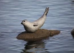 可爱呆萌的海狮图片(10张)