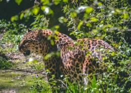 凶猛的金钱豹图片(11张)