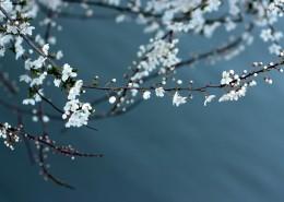 美丽的白色梅花图片(12张)