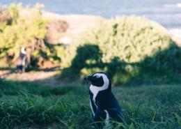可爱呆萌的企鹅图片(11张)