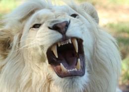 体格雄健的狮子图片(14张)