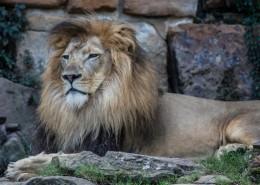 威武的雄狮图片(13张)