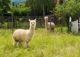 可爱的羊驼图片(13张)