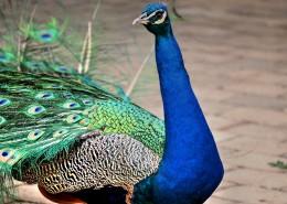 一只色彩艳丽的孔雀图片(13张)