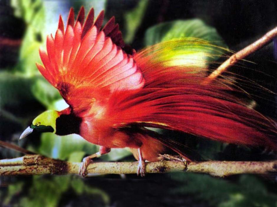 真正的天堂鸟优美姿态图片