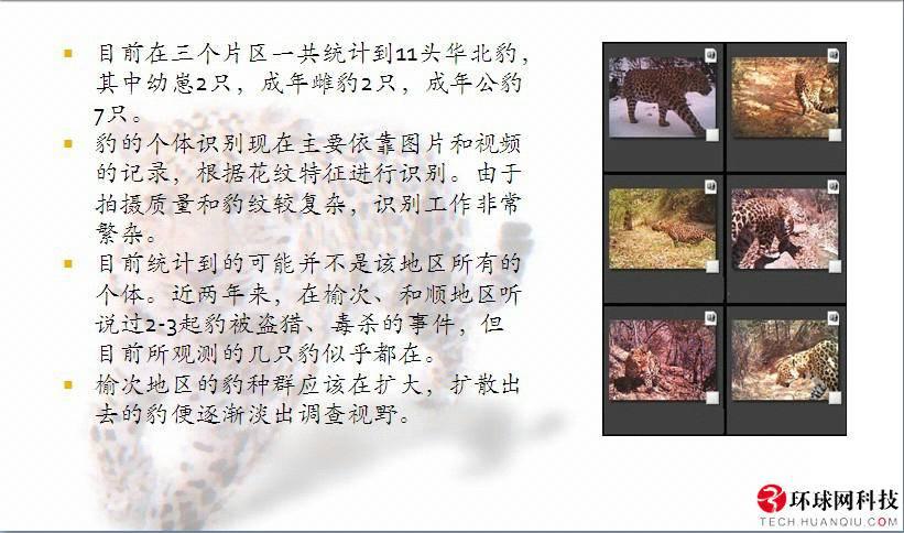 探秘太行山深处:鲜为人知的中国花豹乐园