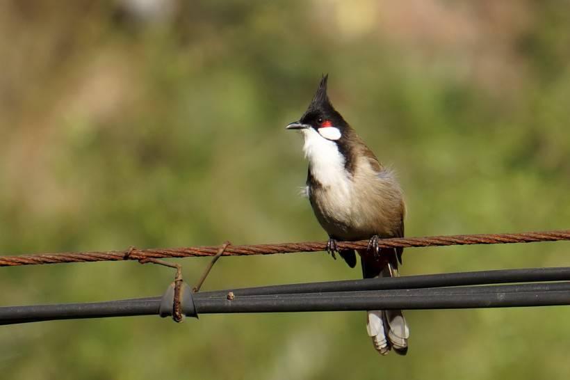 红耳鹎鸟类动物摄影图片