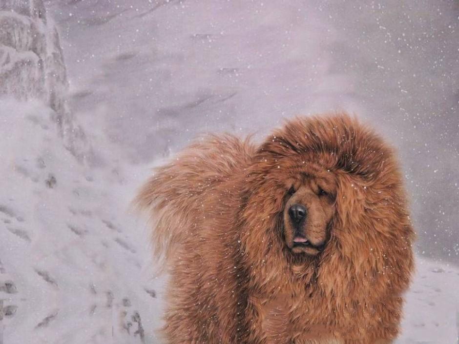 巨型藏獒犬雪地漫步图片