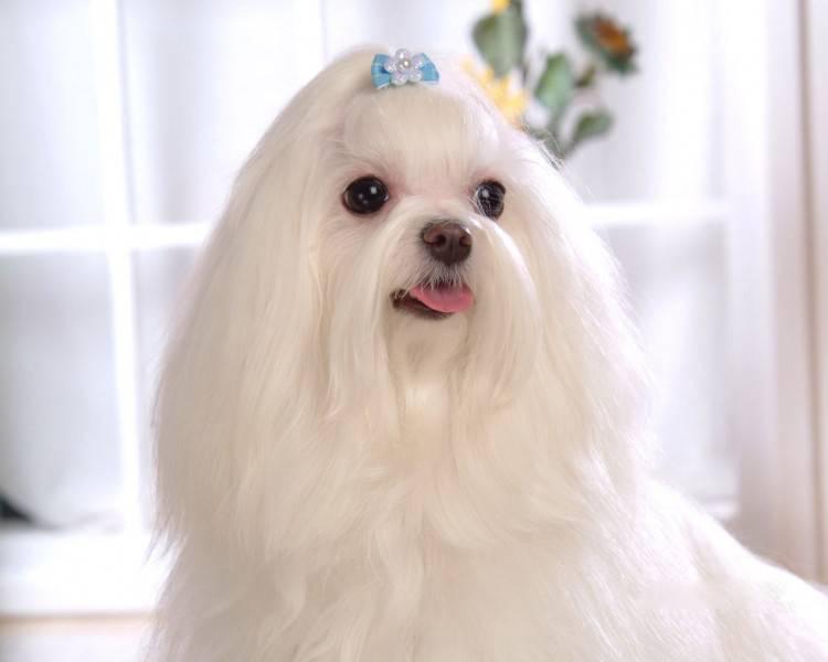 马尔济斯犬图片